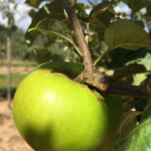 Apfel-Landsberger-Renette-2
